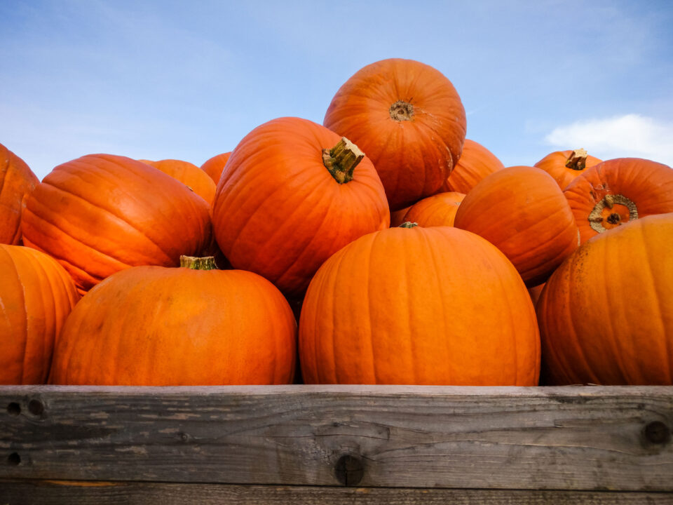 big orange pumpkins against a blue sky